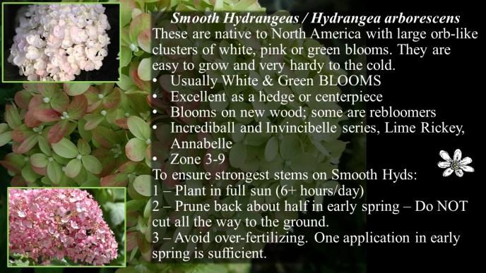 Smooth Hydrangea arborescens