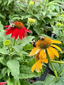 3bees on coneflowers