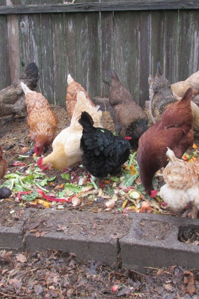 A few things about chickens I wish I had known BEFORE I got them!