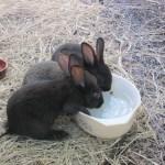 baby rabbits 011