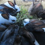 A Step Towards Sustainability on the Homestead: Growing Feed for Rabbits