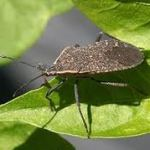 Garden Plan of War; Defeating my nemesis, the Squash Bug and the Squash Vine Borer