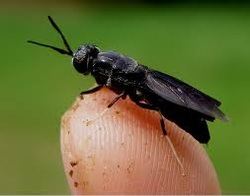 black soldier fly picture