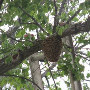 bee swarm capture and artichoke and rain barrel 019