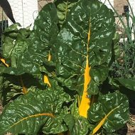 Garden to Table Recipe; Swiss Chard, The Jewel of the Spring Garden!