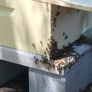 Invasion of the Small Hive Beetle!