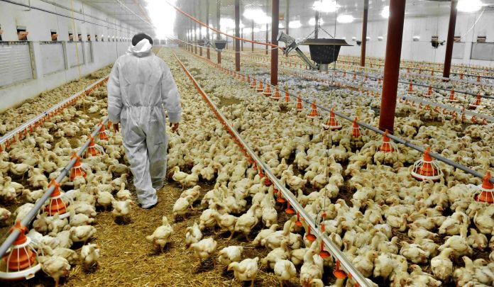 Russia suffers avian-flu outbreak | Business | agupdate.com