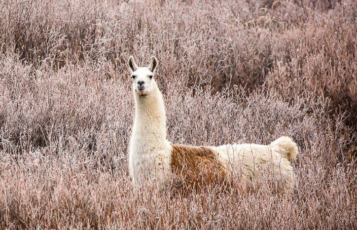 Llama Has Dental Surgery To Get At Root Cause Of Past Escape State Regional Billingsgazette Com