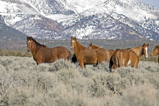 Wild horses near Bald Mountain. (Elko Daily Free Press file photo)