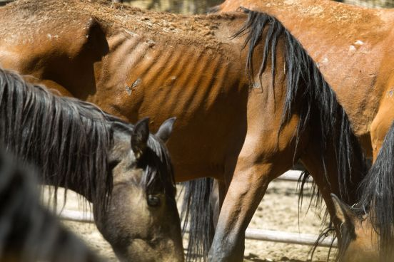 Image result for nevada wild horses starvation