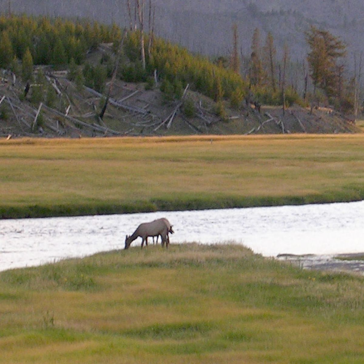 It is based in the colorado region of the rocky mountains,. The Differences Between Roosevelt Elk And Rocky Mountain Elk Xtreme Idaho Idahostatejournal Com