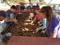 Students help with potato harvest