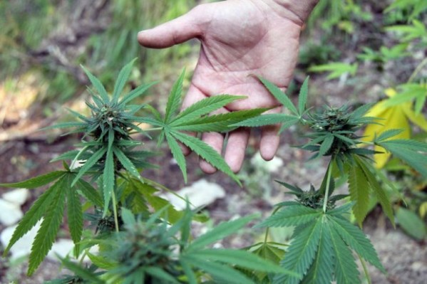 3,000 pot plants found, destroyed on Lolo Forest | Local ...