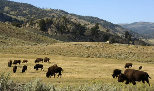 Montana lawmakers push for tribal bison hunts in Yellowstone