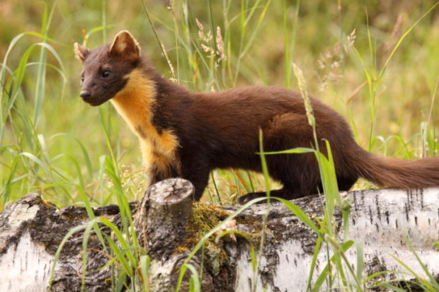 Image result for American pine marten