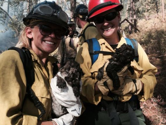 Mountain lion kittens rescue