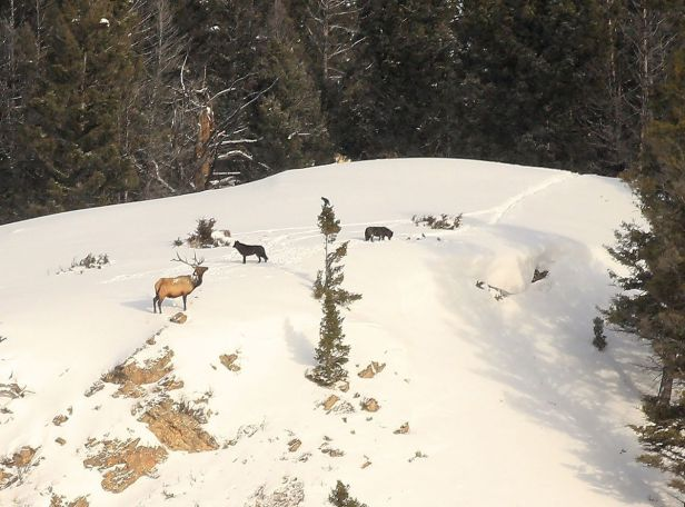 Elk Wolf Stand Off