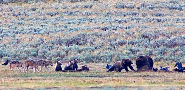 Yellowstone bison, grizzlies, wolves