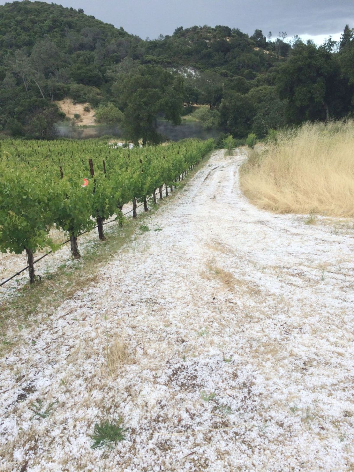 Freak hail storm causes vine damage in some Napa Valley ...