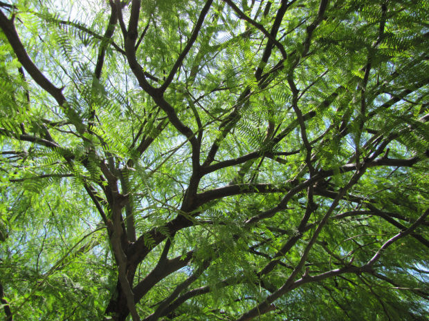 Mmm Mmm Mesquite Tips On How To Identify Best Trees
