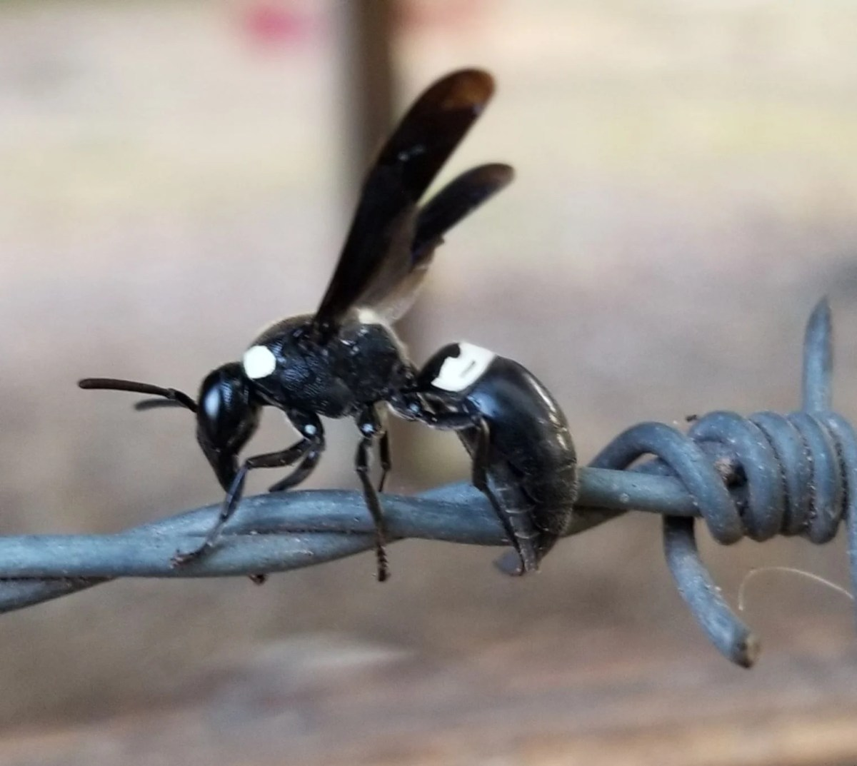 Black and white wasp is a solitary species Real Estate