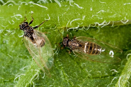 Potato psyllid and Zebra chip disease