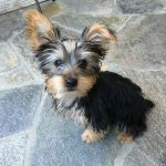 Dog Gone Problems My Yorkie Puppy Is Impossible To Potty Train Blogs Omaha Com