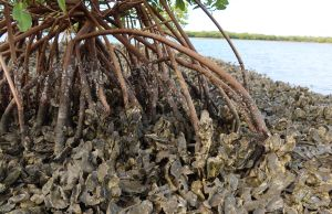 Climate surprise: A hot planet helps Florida mangroves conquer oysters |  Lifestyle