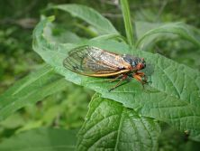 Photo_News_Cicada_Main.JPG