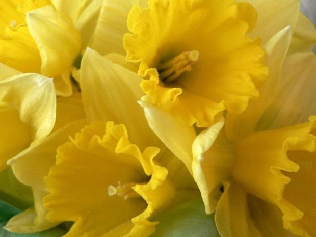 Traditional Spring Flowers for the Easter Holiday   Blogs   roanoke com Daffodils