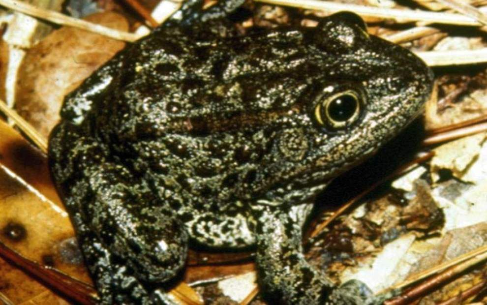 Appeals Court Refuses To Hear St Tammany Frog Case
