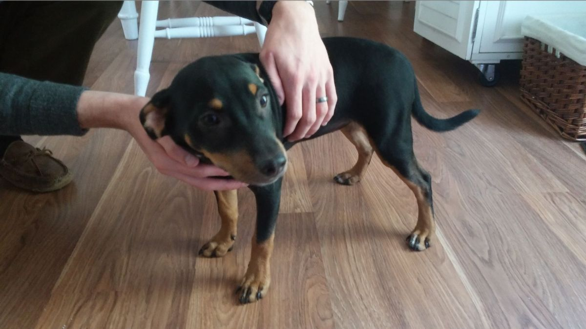 Found Dog Black And Tan Mixed Breed In Southern Pines