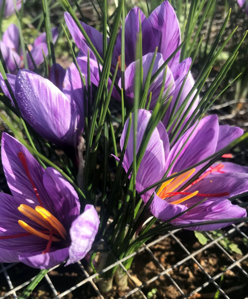 URI researchers exploring potential for saffron production in ...