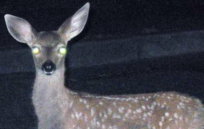 Deer in the headlights? Don't swerve to avoid it | Public Safety |  unionleader.com