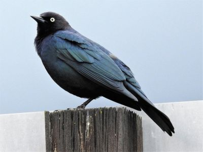 Is It A Blackbird Or A Black Bird? | Local News | Victoriaadvocate.com