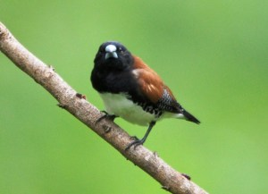 Red-backed Mannikin, Dave Rimmer
