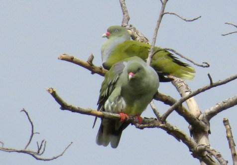 African Green Pigeons, Ndumo