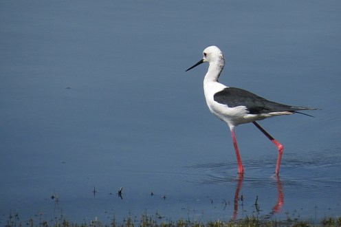 Black-winged Stilt, Ndumo