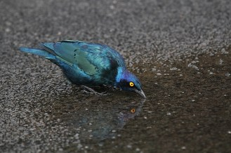 Cape Glossy Starling, Mahai