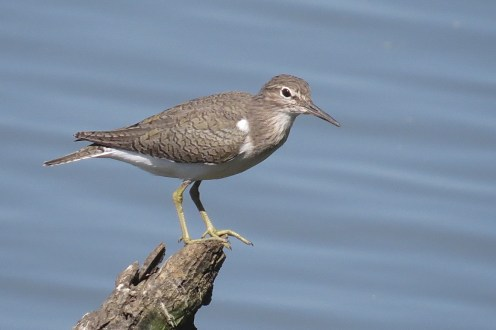 Common Sandpiper, Ndumo