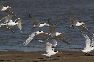Lesser Crested Terns, - one in breeding plumage, Richards Bay