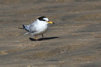 Little Tern in breeding plumage, Richards Bay