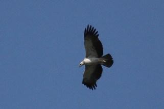 Martial Eagle - juvenile, Ndumo