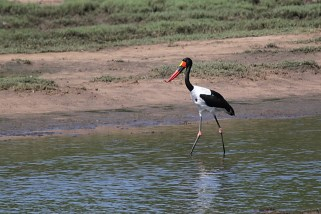 Saddle-billed Stork, Ndumo