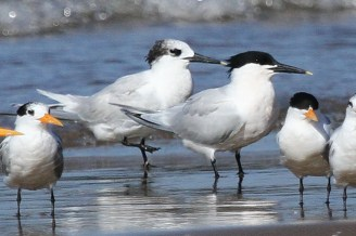 Sandwich and Lesser Crested Terns in breeding and non-breeding plumage, Richards Bay