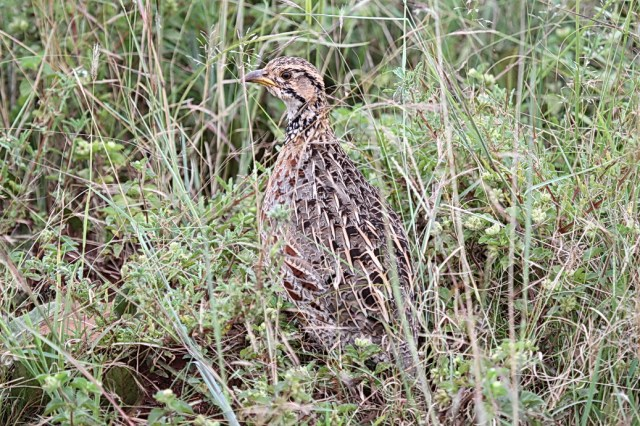 Shelley's Francolin, Ithala