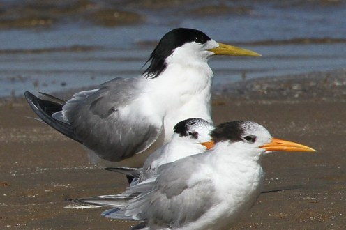 Swift Tern in breeding plumage, Richards Bay