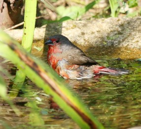 African Firefinch - looking rather wet