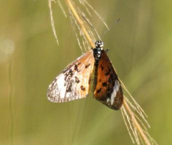 White-barred Acraea