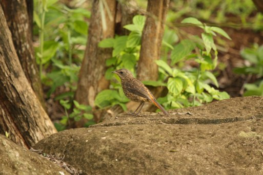 Cape Robin-Chat - juvenile